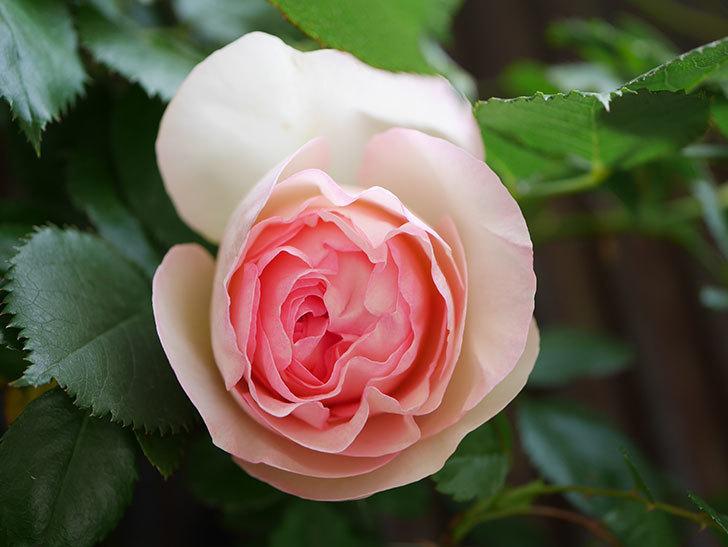 ピエール・ドゥ・ロンサール(Pierre de Ronsard)の花が咲いた。ツルバラ。2021年-015.jpg