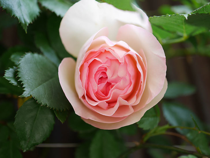 ピエール・ドゥ・ロンサール(Pierre de Ronsard)の花が咲いた。ツルバラ。2021年-016.jpg