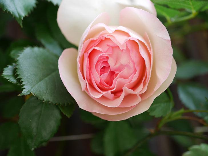 ピエール・ドゥ・ロンサール(Pierre de Ronsard)の花が咲いた。ツルバラ。2021年-017.jpg
