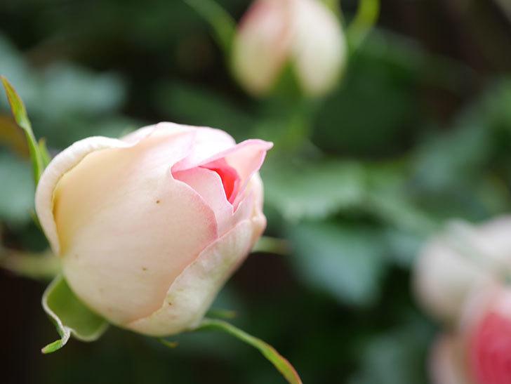 ピエール・ドゥ・ロンサール(Pierre de Ronsard)の花が咲いた。ツルバラ。2021年-018.jpg