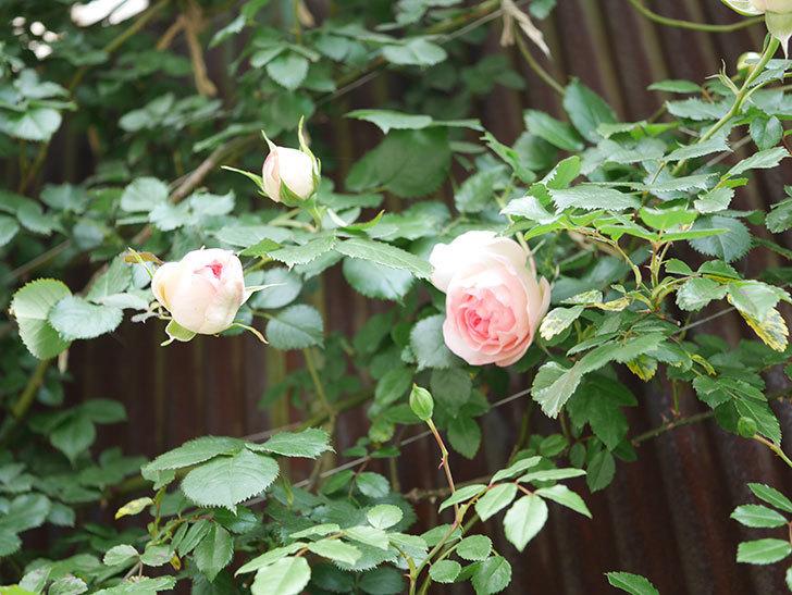 ピエール・ドゥ・ロンサール(Pierre de Ronsard)の花が咲いた。ツルバラ。2021年-021.jpg