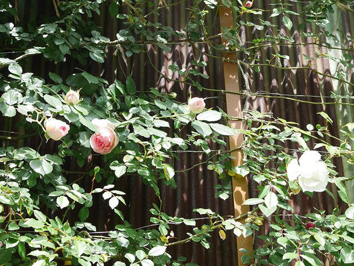 ピエール・ドゥ・ロンサール(Pierre de Ronsard)の花が咲いた。ツルバラ。2021年-022.jpg