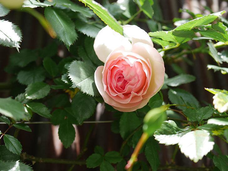 ピエール・ドゥ・ロンサール(Pierre de Ronsard)の花が咲いた。ツルバラ。2021年-023.jpg