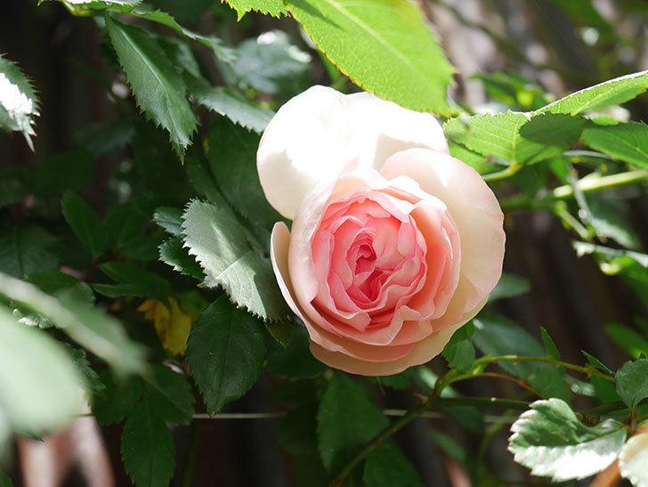 ピエール・ドゥ・ロンサール(Pierre de Ronsard)の花が咲いた。ツルバラ。2021年-024.jpg