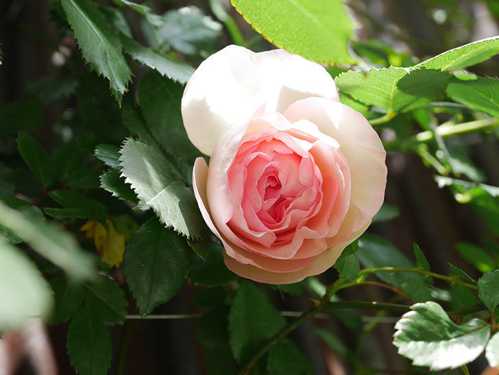 ピエール・ドゥ・ロンサール(Pierre de Ronsard)の花が咲いた。ツルバラ。2021年-025.jpg