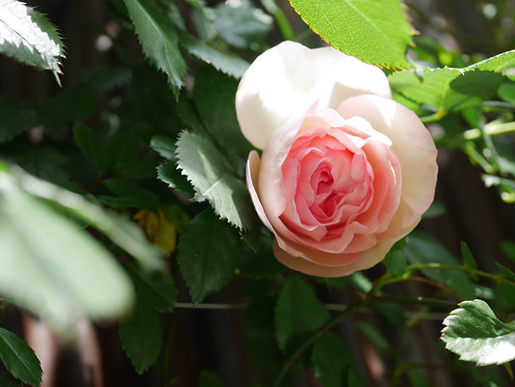 ピエール・ドゥ・ロンサール(Pierre de Ronsard)の花が咲いた。ツルバラ。2021年-026.jpg