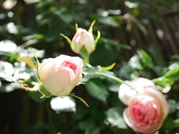 ピエール・ドゥ・ロンサール(Pierre de Ronsard)の花が咲いた。ツルバラ。2021年-029.jpg