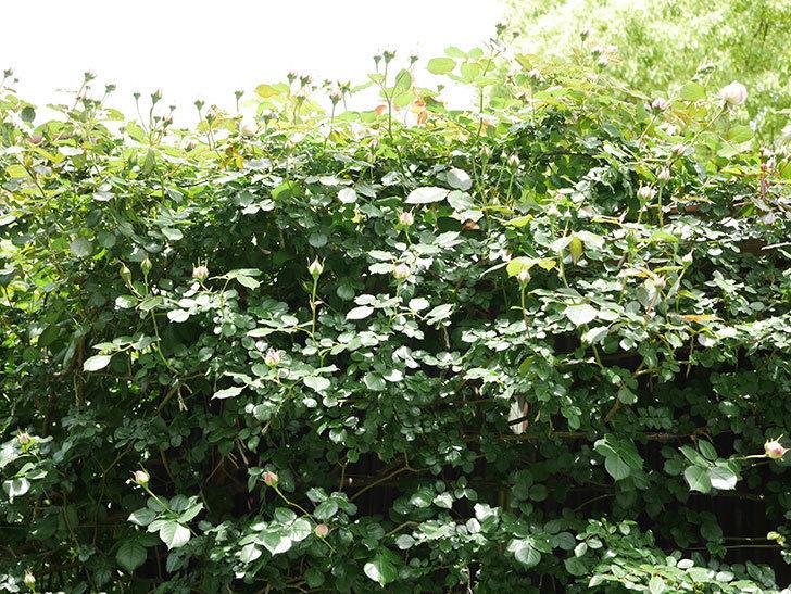 ピエール・ドゥ・ロンサール(Pierre de Ronsard)の花が咲いた。ツルバラ。2021年-030.jpg