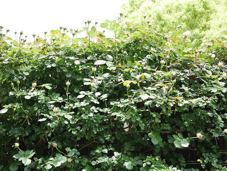 ピエール・ドゥ・ロンサール(Pierre de Ronsard)の花が咲いた。ツルバラ。2021年-031.jpg