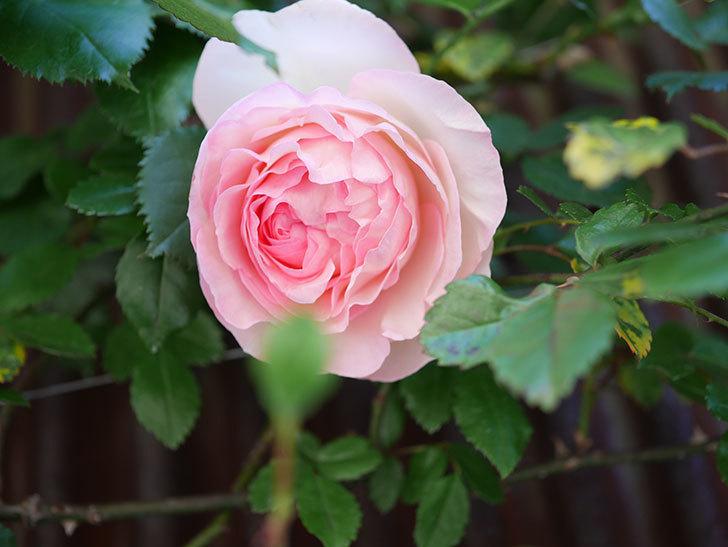 ピエール・ドゥ・ロンサール(Pierre de Ronsard)の花が増えてきた。ツルバラ。2021年-001.jpg