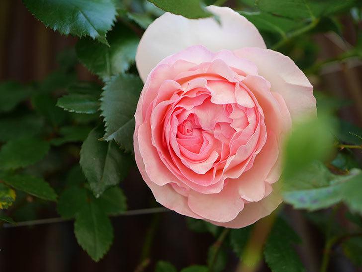 ピエール・ドゥ・ロンサール(Pierre de Ronsard)の花が増えてきた。ツルバラ。2021年-002.jpg
