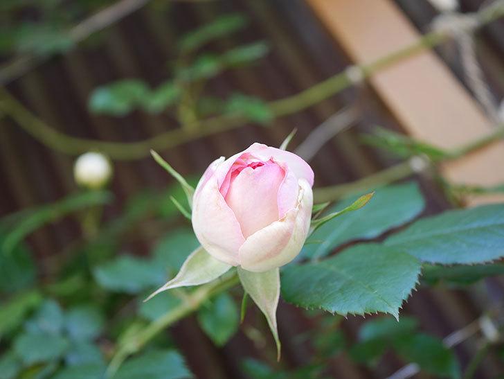 ピエール・ドゥ・ロンサール(Pierre de Ronsard)の花が増えてきた。ツルバラ。2021年-004.jpg