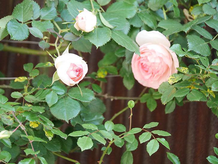 ピエール・ドゥ・ロンサール(Pierre de Ronsard)の花が増えてきた。ツルバラ。2021年-006.jpg
