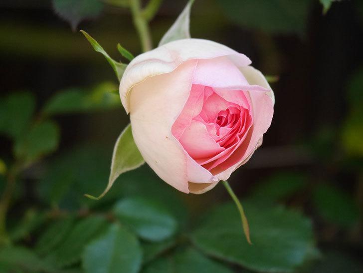 ピエール・ドゥ・ロンサール(Pierre de Ronsard)の花が増えてきた。ツルバラ。2021年-008.jpg