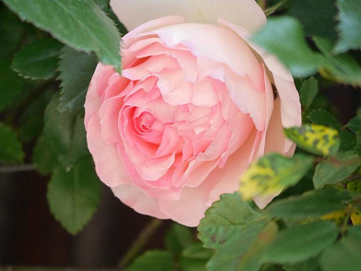 ピエール・ドゥ・ロンサール(Pierre de Ronsard)の花が増えてきた。ツルバラ。2021年-009.jpg