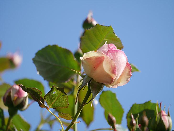 ピエール・ドゥ・ロンサール(Pierre de Ronsard)の花が増えてきた。ツルバラ。2021年-010.jpg