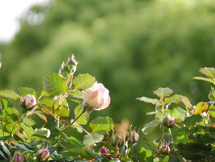 ピエール・ドゥ・ロンサール(Pierre de Ronsard)の花が増えてきた。ツルバラ。2021年-013.jpg