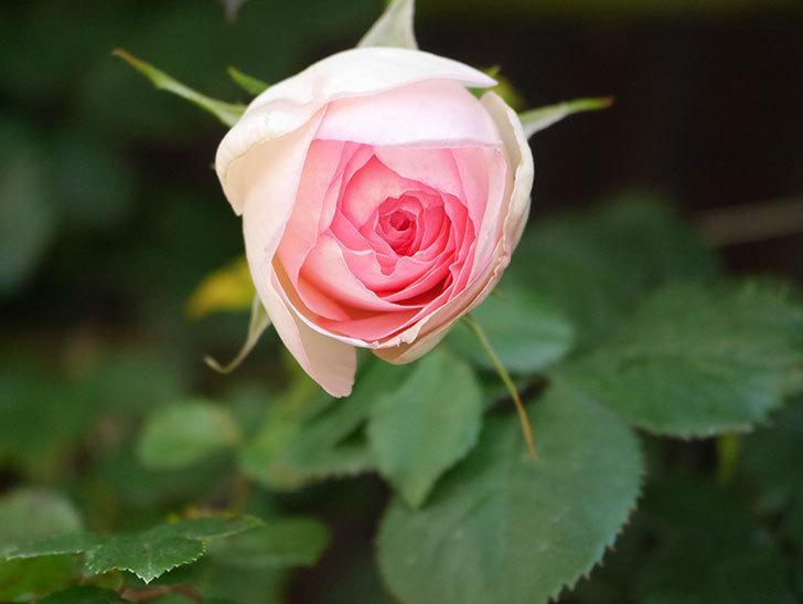 ピエール・ドゥ・ロンサール(Pierre de Ronsard)の花が増えてきた。ツルバラ。2021年-014.jpg