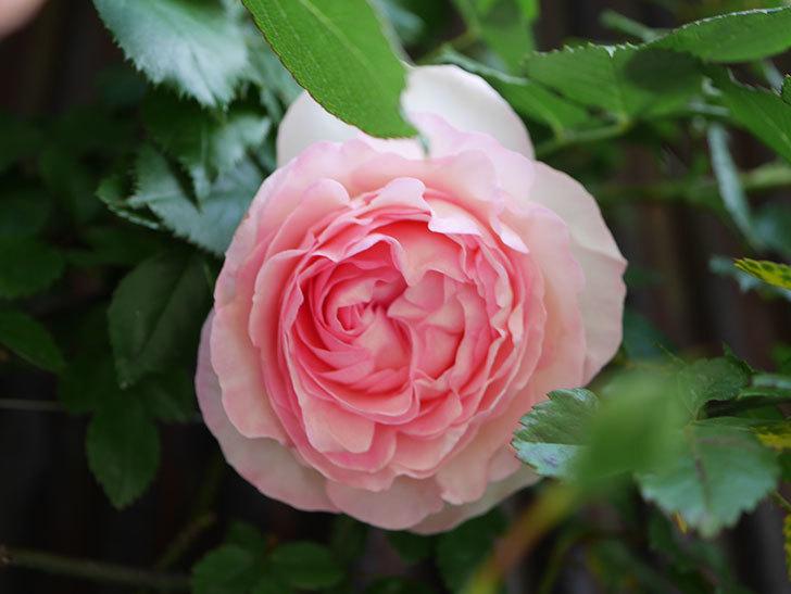 ピエール・ドゥ・ロンサール(Pierre de Ronsard)の花が増えてきた。ツルバラ。2021年-015.jpg