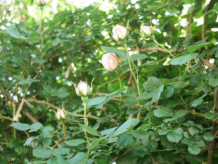 ピエール・ドゥ・ロンサール(Pierre de Ronsard)の花が増えてきた。ツルバラ。2021年-016.jpg