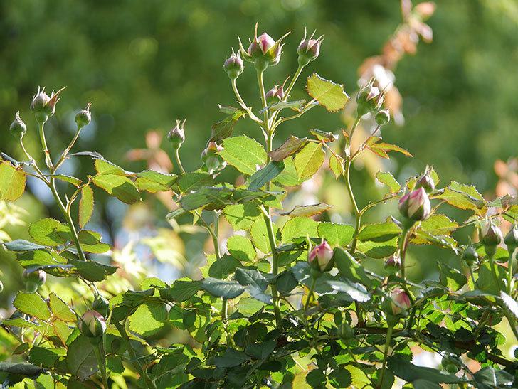 ピエール・ドゥ・ロンサール(Pierre de Ronsard)の花が増えてきた。ツルバラ。2021年-021.jpg