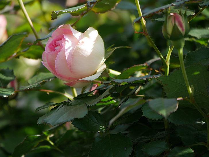 ピエール・ドゥ・ロンサール(Pierre de Ronsard)の花が増えてきた。ツルバラ。2021年-022.jpg
