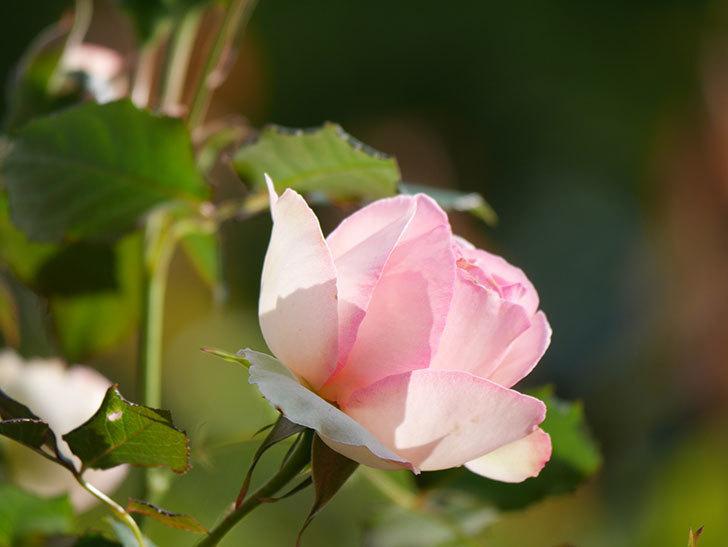 ピエール・ドゥ・ロンサール(Pierre de Ronsard)の花が増えてきた。ツルバラ。2021年-023.jpg