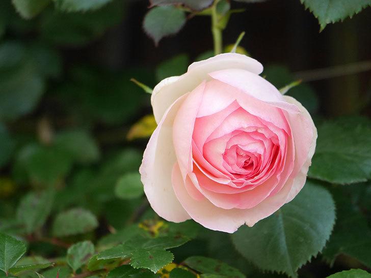 ピエール・ドゥ・ロンサール(Pierre de Ronsard)の花が増えてきた。ツルバラ。2021年-025.jpg