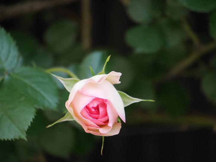ピエール・ドゥ・ロンサール(Pierre de Ronsard)の花が増えてきた。ツルバラ。2021年-026.jpg