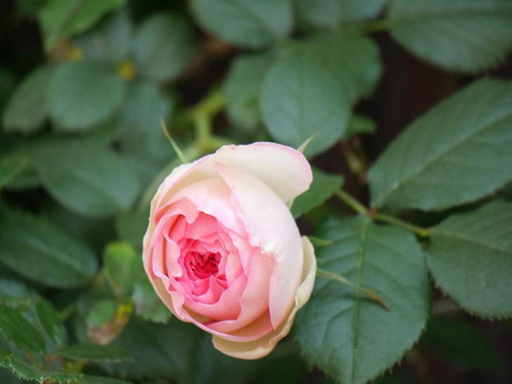 ピエール・ドゥ・ロンサール(Pierre de Ronsard)の花が増えてきた。ツルバラ。2021年-027.jpg