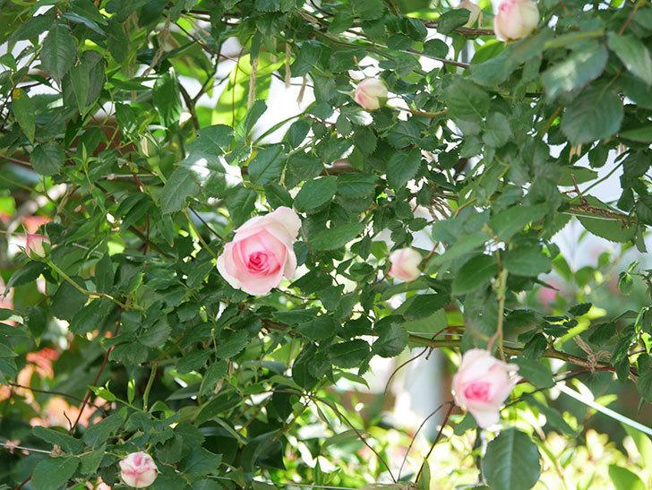 ピエール・ドゥ・ロンサール(Pierre de Ronsard)の花が増えてきた。ツルバラ。2021年-028.jpg