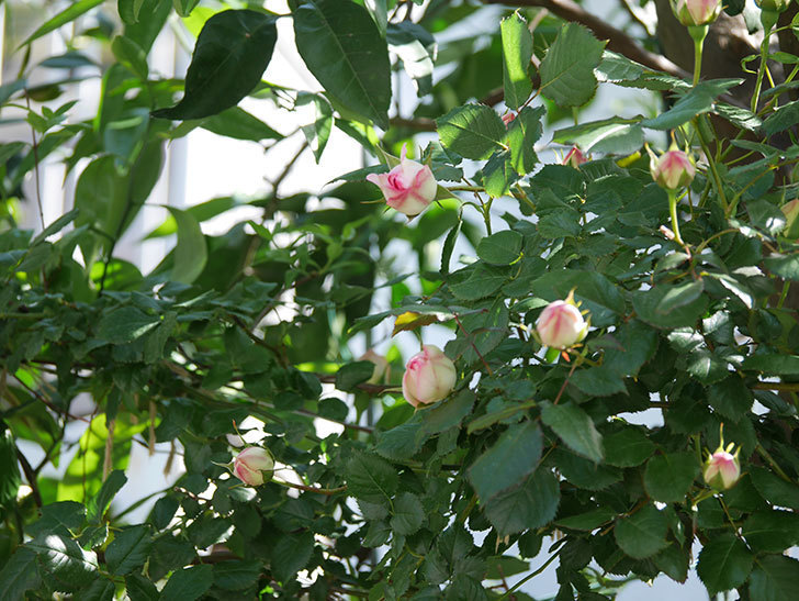 ピエール・ドゥ・ロンサール(Pierre de Ronsard)の花が増えてきた。ツルバラ。2021年-029.jpg