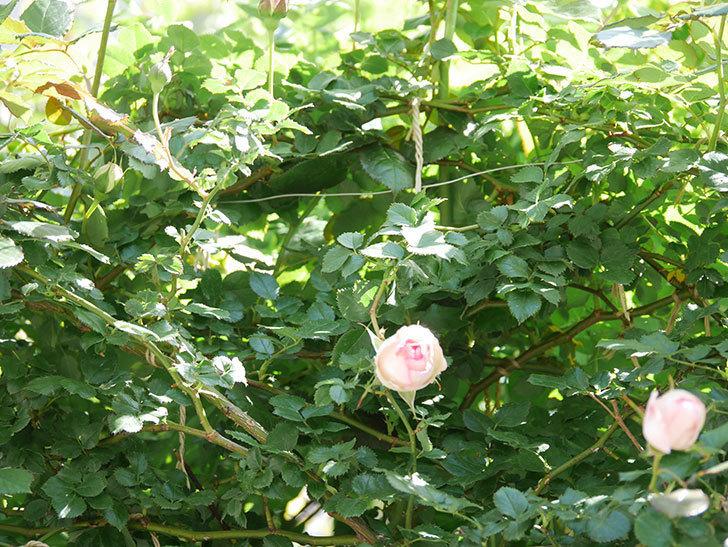 ピエール・ドゥ・ロンサール(Pierre de Ronsard)の花が増えてきた。ツルバラ。2021年-036.jpg