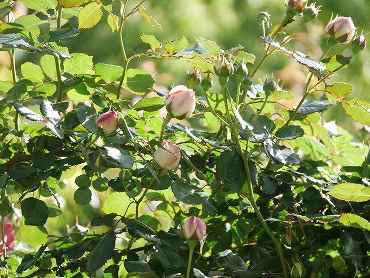 ピエール・ドゥ・ロンサール(Pierre de Ronsard)の花が増えてきた。ツルバラ。2021年-037.jpg