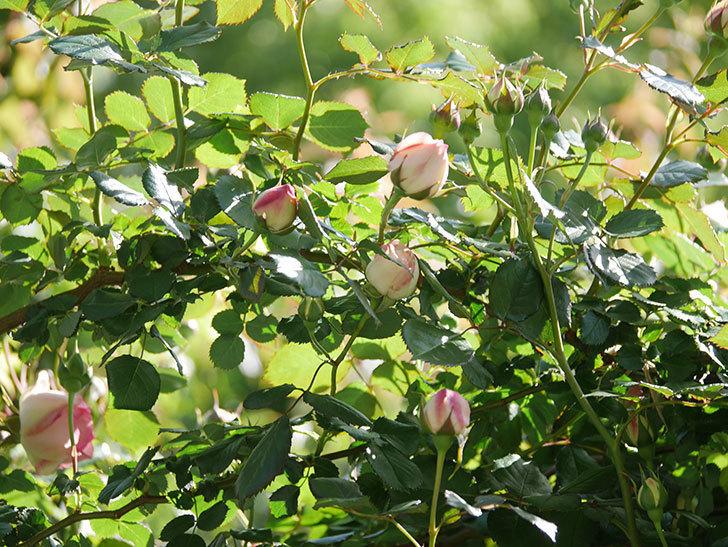 ピエール・ドゥ・ロンサール(Pierre de Ronsard)の花が増えてきた。ツルバラ。2021年-038.jpg