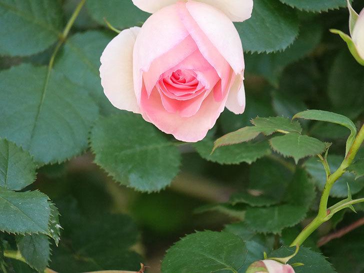 ピエール・ドゥ・ロンサール(Pierre de Ronsard)の花が増えてきた。ツルバラ。2021年-044.jpg