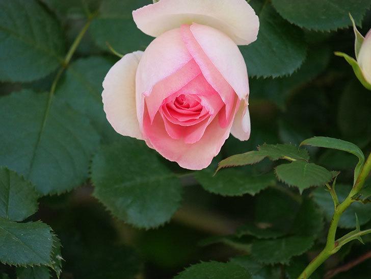 ピエール・ドゥ・ロンサール(Pierre de Ronsard)の花が増えてきた。ツルバラ。2021年-045.jpg
