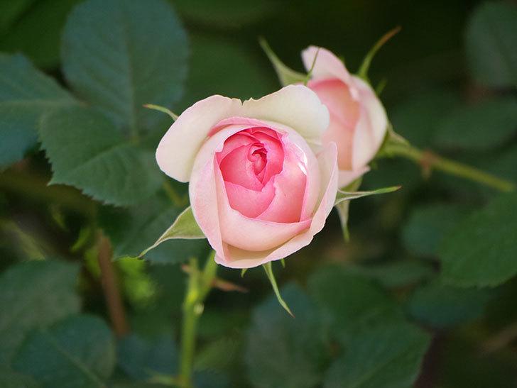 ピエール・ドゥ・ロンサール(Pierre de Ronsard)の花が増えてきた。ツルバラ。2021年-046.jpg