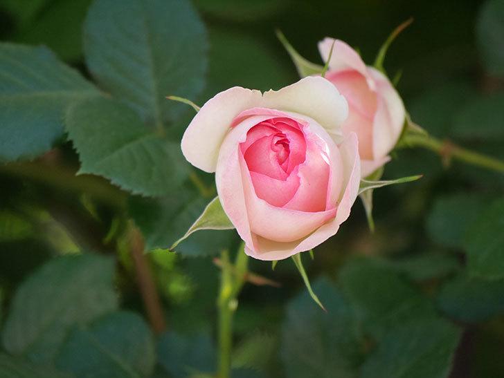 ピエール・ドゥ・ロンサール(Pierre de Ronsard)の花が増えてきた。ツルバラ。2021年-047.jpg