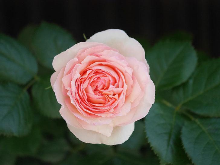 ピエール・ドゥ・ロンサール(Pierre de Ronsard)の花が増えてきた。ツルバラ。2021年-048.jpg