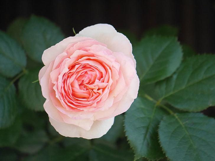 ピエール・ドゥ・ロンサール(Pierre de Ronsard)の花が増えてきた。ツルバラ。2021年-049.jpg