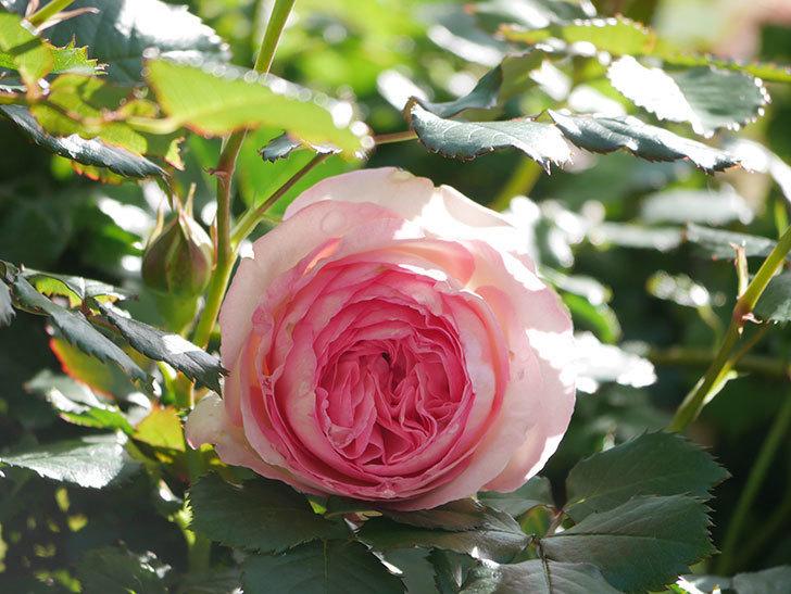 ピエール・ドゥ・ロンサール(Pierre de Ronsard)の花が増えてきた。ツルバラ。2021年-050.jpg