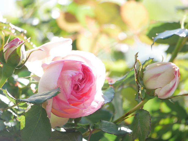 ピエール・ドゥ・ロンサール(Pierre de Ronsard)の花が増えてきた。ツルバラ。2021年-052.jpg