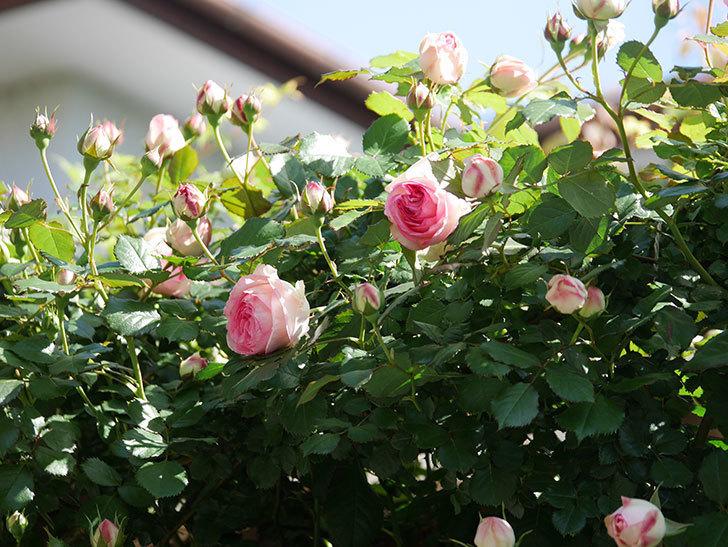ピエール・ドゥ・ロンサール(Pierre de Ronsard)の花が増えてきた。ツルバラ。2021年-053.jpg
