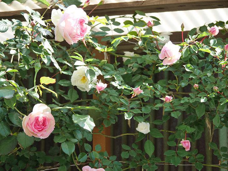 ピエール・ドゥ・ロンサール(Pierre de Ronsard)の花が増えてきた。ツルバラ。2021年-055.jpg