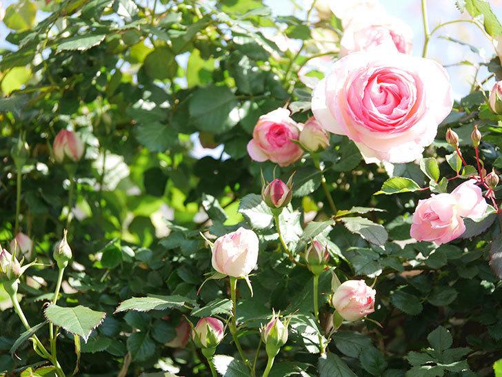 ピエール・ドゥ・ロンサール(Pierre de Ronsard)の花が増えてきた。ツルバラ。2021年-056.jpg