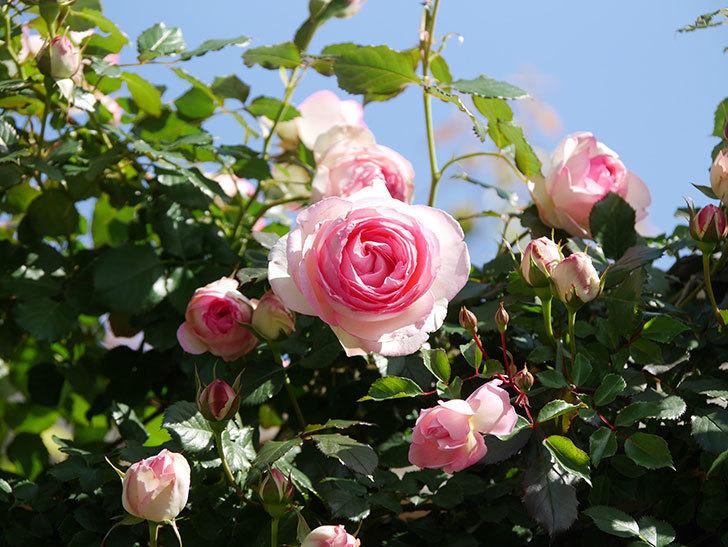 ピエール・ドゥ・ロンサール(Pierre de Ronsard)の花が増えてきた。ツルバラ。2021年-057.jpg