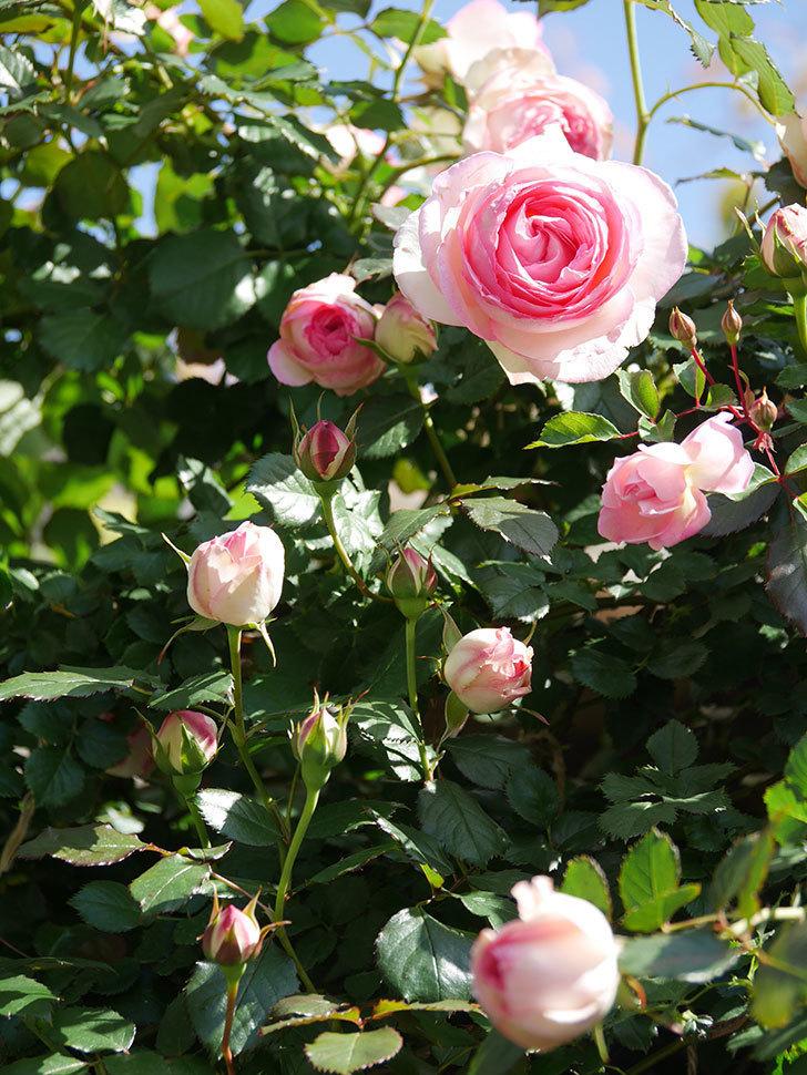 ピエール・ドゥ・ロンサール(Pierre de Ronsard)の花が増えてきた。ツルバラ。2021年-060.jpg