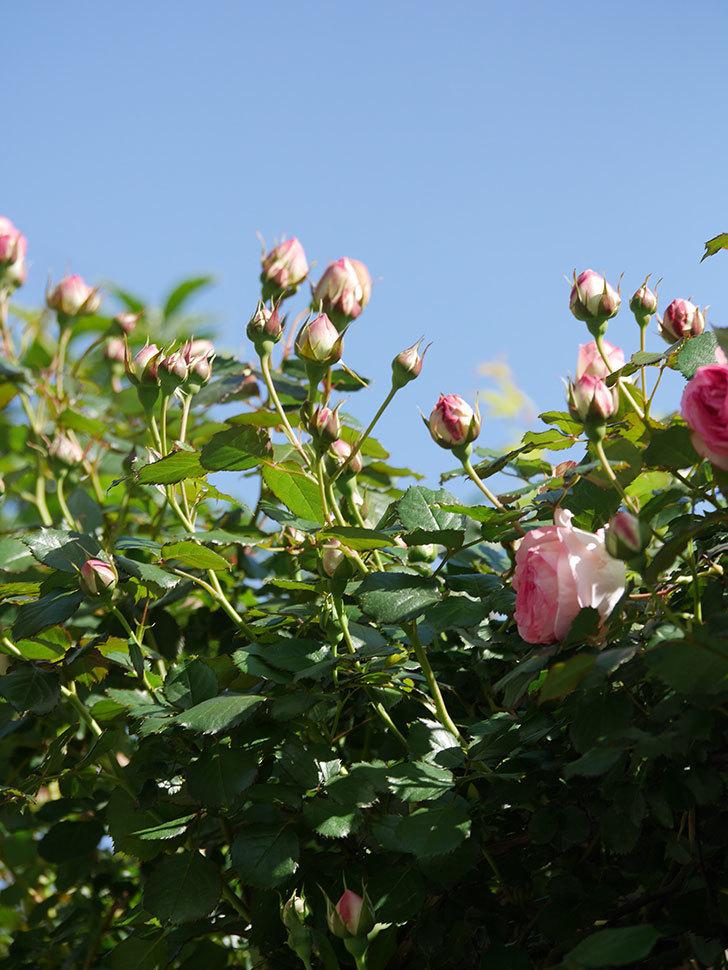ピエール・ドゥ・ロンサール(Pierre de Ronsard)の花が増えてきた。ツルバラ。2021年-061.jpg