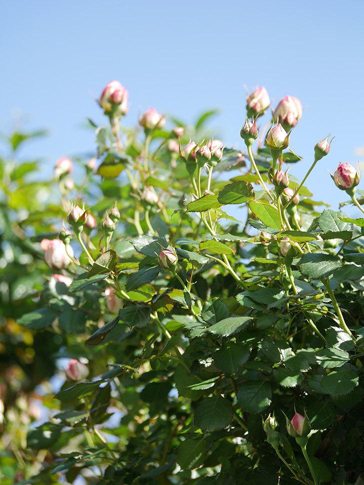 ピエール・ドゥ・ロンサール(Pierre de Ronsard)の花が増えてきた。ツルバラ。2021年-062.jpg